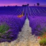Рассвет на лавандовом поле в Провансе, Франция….