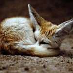Что мы знаем о лисе?